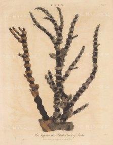 Black Coral of India (Isis hippuris).After Albertus Seba, engraved by John Pass.