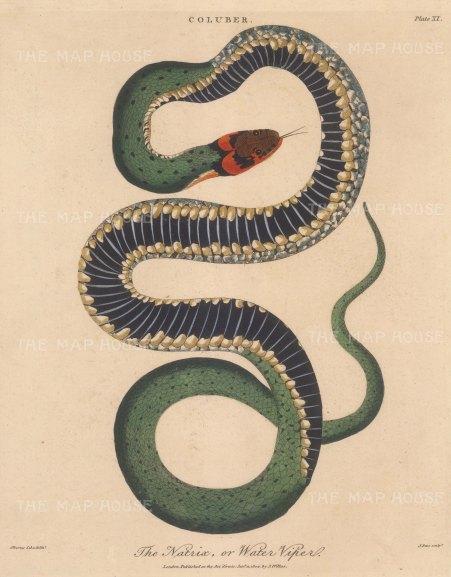Viper (Coluber): Viperine water snake (Natrix). After Albertus Seba, engraved by John Pass.