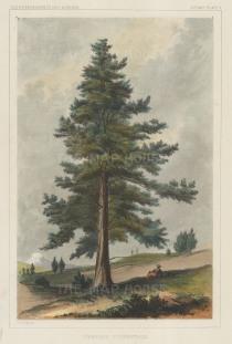 Juniperus Occidentalis.