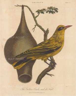 Warbler (Motacilla): Pinc Pinc grass warbler with nest.