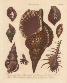 Buccina: Triton, Wry mouthed, Umbilicated, Plicated, Gullered, Whelks, Thorny Woodcock, Strombus and Pupura.