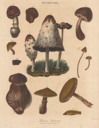 1. Fungus infundibuliformis a-c life cycle, 2.- 8 unnamed varieties 9. Puff mushroom.