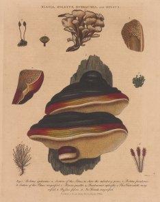 Boletus igniarius and Frondosius, Blasia pusilla, Buxbaumia aphylla and Byssus fulva.
