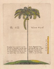 Palm Tree: Scarce. Royal Palmeto with text. From one of the earliest works on Barbados.