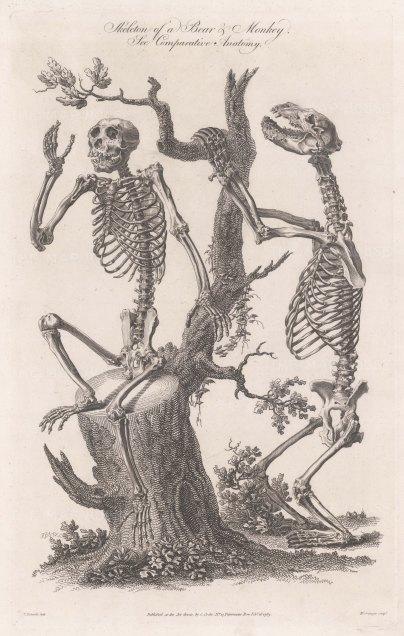 Skeleton of a Bear and Chimpanzee.
