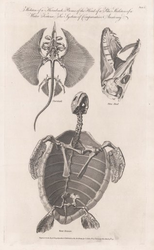 Skeleton of a Sea Tortoise, Thornback Ray and Pike's head.