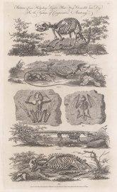 Skeleton of a Hedgehog, Lizard, Fog, Bat, Crocodile and dog.