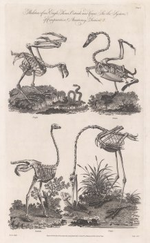 Skeleton of a Eagle, Swan, Ostrich and Crane.