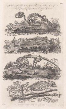 Skeleton of a Rabbit, Mole, Armadillo and Chameleon.