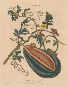 Watermelon: With Acharia Moth (Acharia ophelians, caterpillar, chrysalis and pupa. After Maria Sybilla Merian. Engraved by John Pass.