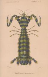 Giant Martin Shrimp. Squilla masculata.