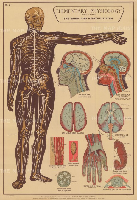 Elementary Physiology: Brain and Nervous System with details of Brain, Heart and Nerves.