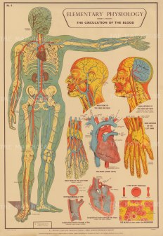 Circulation of the Blood with details of Brain, Heart and Vessels