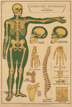 Elementary Physiology: Skeleton with details of the head, spine and bone.