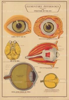 "Holding: Elementary Physiology. c1929. An original vintage colour print. 25"" x 37"". [NATHISp7939]"