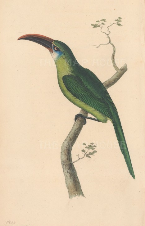 Toucan (Aracari): Grooved-bill Aracari. Pteroglosus sulcatus.