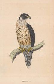 "Morris: Peregrine Falcon. 1855. An original hand coloured antique lithograph. 5"" x 8"". [NATHISp7914]"