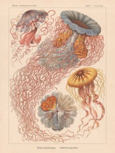 Jellyfish: 1. & 2. Desmonema Annasethe (named for Haekel's late wife Anna Sethe) 3. Floscula Promethea and 4. Chrysaora mediterranea.