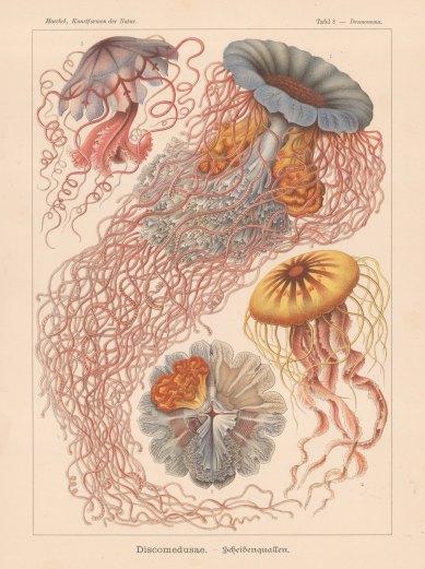 Jellyfish: 1. & 2. Desmonema Annasethe (named for Haekel's late wife Anna Sethe) 3. Floscula Promethea and 4. Chrysaora mediterranea.