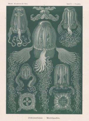 Box Jellyfish: 1. Chirodropus palmatus, 2. Chiropsalmus quadrigatus, 3-4. Charybdea obeliscus, 5-6. Charybdea murrayana, 7. Procharybdis tetraptera, 8. Tamoya prismatica.