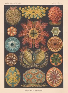 Anemones: 14 examples. Key available.