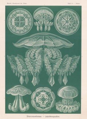 Jellyfish:1-3 Pilema Giltschii 4 Rhopilema Frida 5 Brachiolophus collaris 6 & 7 Cannorhiza connexa