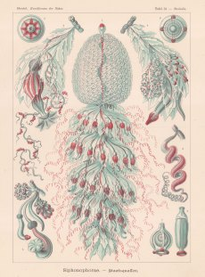 Hydrozoans: Strobalia cupola 1. Cormus 2 Pneumatophora 3-5 Cormidium 6 Tentillum 7 & 8 Gynophora 9 Androphora