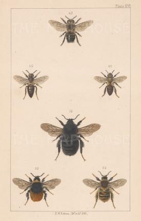 Bumblebees: Ruderal (1. Bombus Harrisellus), Northern European (2. Bombus Lapponicus), Knapweed caper (3. Bombus sylvarum) and European honeybee (4. Apis mellifica)