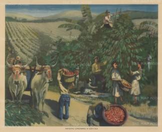 Harvesting coffee-berries in Costa Rica.