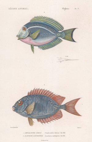 Rabbitfish: Scribbled Rabbitfish (Amphacanthus doliatus) and Cuvier's Surgeonfish (Acanthurus xanthopterus).