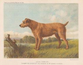 """Cassell: Irish Terrier. 1890. An original antique chromolithograph. 9"""" x 7"""". [NATHISp7961]"""