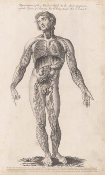 Lymphatic system: Details of the the system in the legs, arms, trunk and throat.