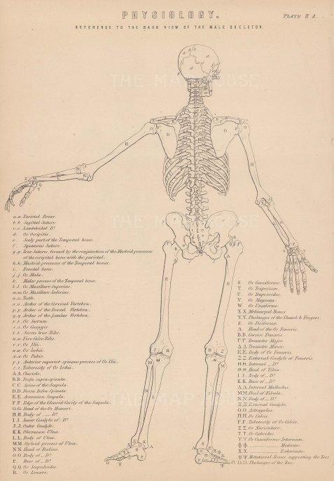 Skeleton: Male posterior skeleton. With Key.