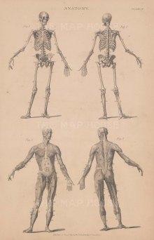 Skeleton: Anterior and Posterior male skeleton with Anterior and Posterior of male myology.