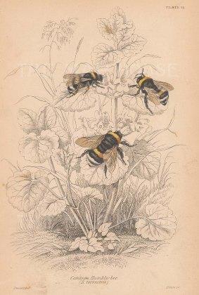 Bees: Humble bee (Bumblebee): Bombus terrestris.