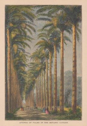 Rio de Janeiro: Jardim Botanico. The Avenue of Palms.