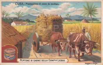 View of a Sugar Cane plantation.