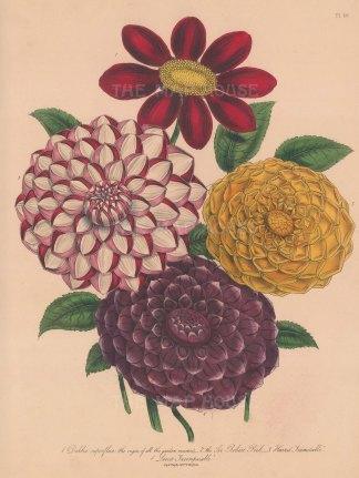 Dahlia: 1 Variable 2 Sir Robert Peel 3 Harris's Inimiable 4 Levic's Incomparable.