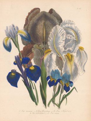 Iris: 1 Chalcedonian 2 Florentine 3 Nepal 4 Three toothed 5 Spring.