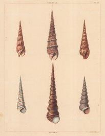 Univalves: Genus Terebra: 1. Terebra Carnea, 2. T. Maculata, 3. T. Fusca. Genus Aculea: 1. Aculea Lineata, 2. A. Magnifica, 3. A. Pallida.