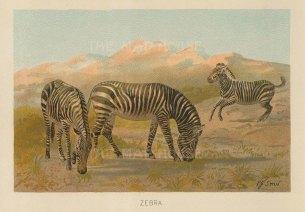 "Warner & Co.: Zebra. 1894. An original antique chromolithograph. 6"" x 4"". [NATHISp7317]"