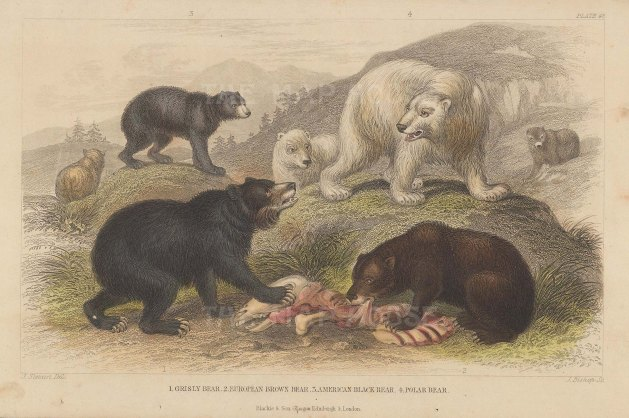 Grizzly, European Brown, American Black and Polar Bear with key.