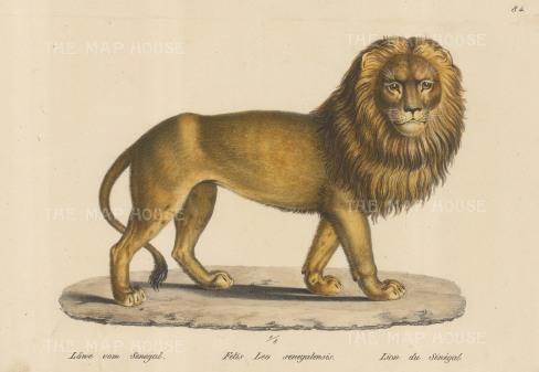 West African Lion. Felis Leo senegalensis. Framed.