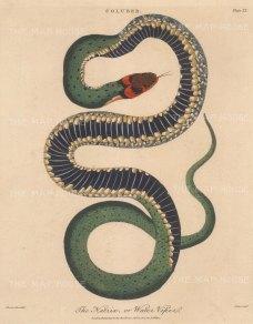 Viper (Coluber): Viperine water snake (Natrix). After Albertus Seba, engraved by John Pass. Framed.