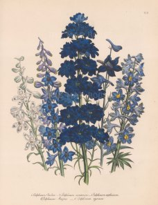 Delphinium (Larkspur): 1. Mr Barlow's 2. Muntain 3. Variable Bee 4. Mr Menzies's 5. Azure.