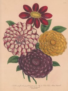 Dahlia: 1. Variable 2. Sir Robert Peel 3. Harris's Inimitable 4. Levic's Incomparable.