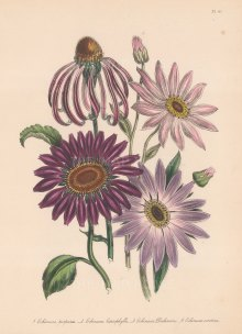 Echinacea: 1. Common purple Rudbeckle 2. Various leaved Echinacea 3 . Dickon's Echinacea 4. Late flowering Purple Rudbeckle.