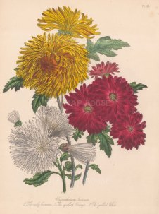 Chrysanthemum Indicum: 1. Early Crimson 2. Quilled Orange 3. Quilled White
