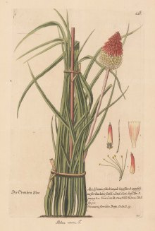 Kniphofia: Red Hot Poker. Aletris uvaria
